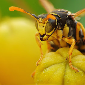 Wasp on flower by Amanda Blom - Animals Insects & Spiders ( #wasp, #eyes, #nature, #raynox, #fuji, #insect, #yellow, #macro )
