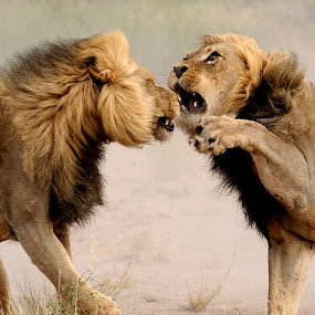 Dueling at Mpaya in K.T.P. by Lorraine Bettex - Animals Lions, Tigers & Big Cats (  )