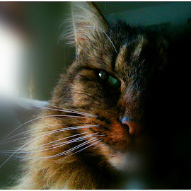 Mercedes by Sheila Burgher - Animals - Cats Portraits