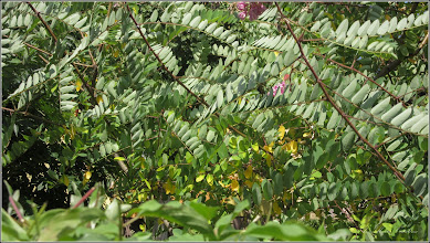 Photo: Salcâm rosu (Robinia hispida)  din Turda, Str. Aviatorilor, Nr.4 - 2019.07.09