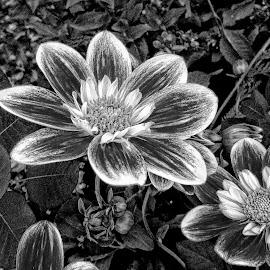 B&W flower 07 by Michael Moore - Black & White Flowers & Plants
