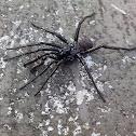 Spider - Araña