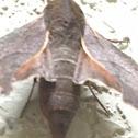 Azalea sphinx