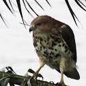 Red-necked Buzzard