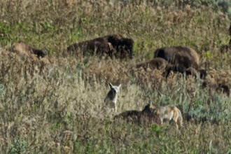 Photo: Wolves have found the bison