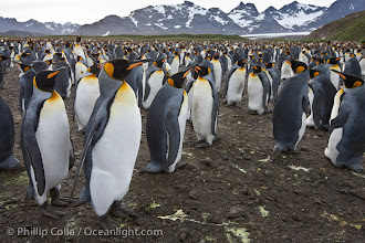 Photo: King penguin colony. Over 100,000 pairs of king penguins nest at Salisbury Plain, laying eggs in December and February, then alternating roles between foraging for food and caring for the egg or chick.