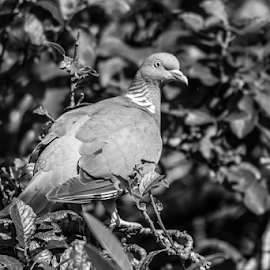 Pigeon by Garry Chisholm - Black & White Animals ( pigeon, nature, bird, wildlife, garry chisholm )
