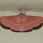 Hakea Wine Moth
