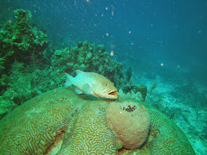 Photo: Grouper being cleaned