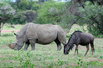 Photo: Friends? A White Rhino and a Blue Wildebeest grazing in the Bontle Camping Site, Marakele National Park, South Africa.