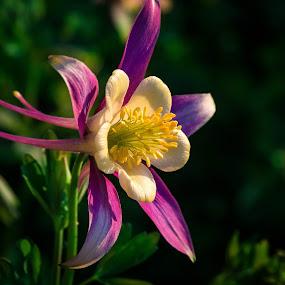 Columbine by Chad Roberts - Flowers Flower Gardens ( columbine, white, pink, yellow, evening, garden, flower,  )