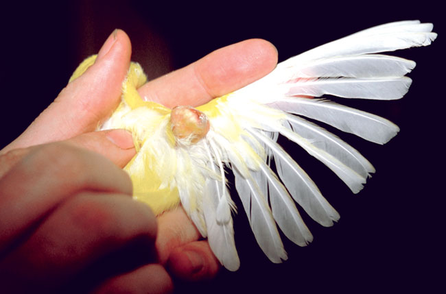 A feather cyst is shown in a canary