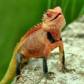 by Jit Rakshit - Animals Reptiles