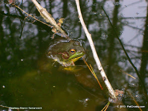 Photo: A recently moved in resident! Presence of frogs indicates good ecology.