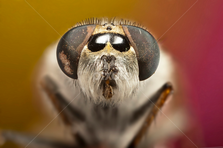 Portrait II by Ömer Alp Evirgen - Animals Insects & Spiders ( extreme, macro, fly, mp-e, 65mm, stack, evirgen )