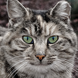 *** by Jurijs Ratanins - Animals - Cats Portraits ( look, mobilography, cat, portrait, animal )