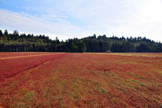 Photo: Grayland Cranberry Bog ready for harvest