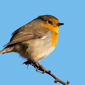 Robin Blue sky by Kenny Routledge - Animals Birds ( robin, wwt caerlaverock, nature, dumfries and galloway, wildlife, kenny routledge, new photos, birds )
