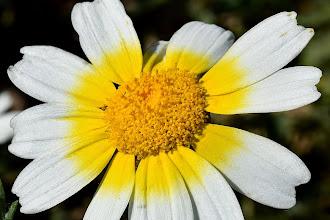 Photo: Chryisantemum coronarium