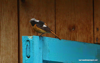 Photo: A Daurian redstart at our place in Arshan