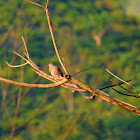 Sri Lanka Spotted Dove
