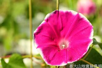 Photo: 拍攝地點: 春陽-可愛植物區 拍攝植物: 朝顏(牽牛花) 拍攝日期: 2014_07_04_FY