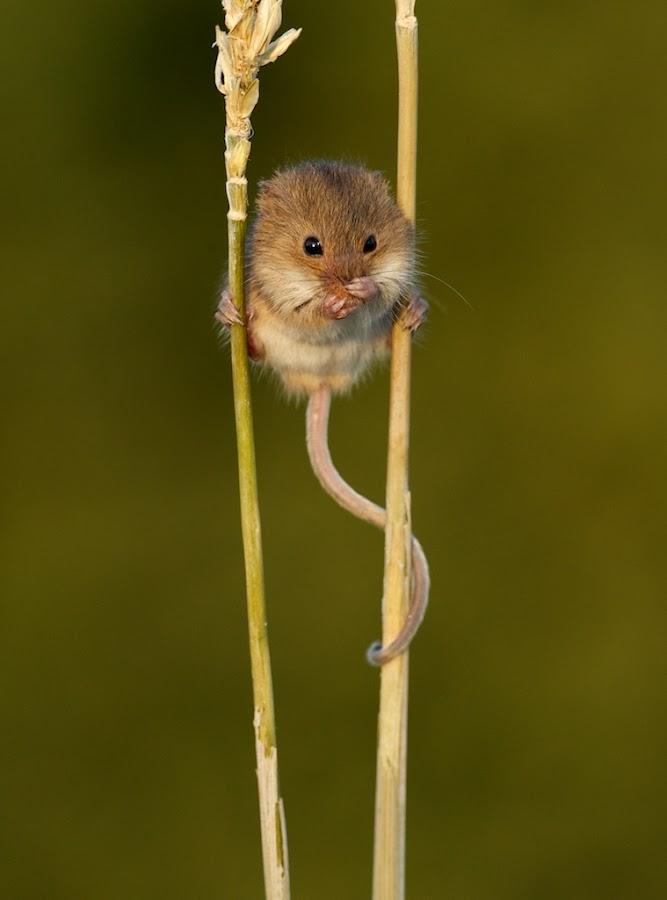 Shh... Keep quiet by Matt Binstead - Animals Other Mammals ( mice, field, mouse, wash, harvest, corn )
