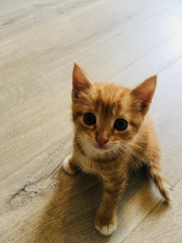 Image result for ginger kittens