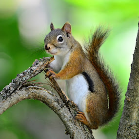 Squirrel by Ruth Overmyer - Animals Other Mammals (  )