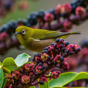 Japanese White Eye on Octopus tree by Shawn Crowley - Animals Birds