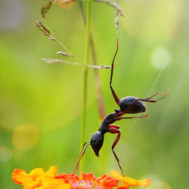 Bungee Ant. by Sabbir Ahamed - Animals Insects & Spiders ( sabbir_ahamed_photography, ant )