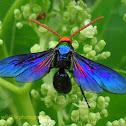 Scoliid Wasp