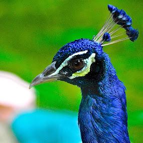 Peacock by Alvin Cheah - Animals Birds ( pwctaggedbirds )