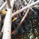 Cangrejo rojo de manglar