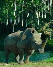 Photo: rhino at havana zoo. tracey eaton photo.
