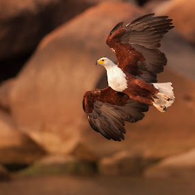 Spread Your Wings by Robert van Brug - Animals Birds ( haliaeetus vocifer, african fish eagle, fishing, malawi, africa )