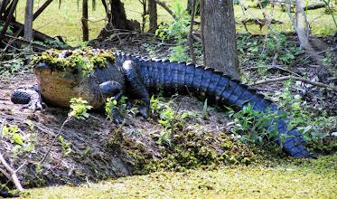 Photo: Big Gator.