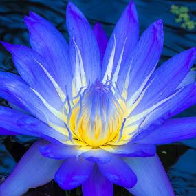 Lala by Ryusuke Komori - Nature Up Close Flowers - 2011-2013 ( water, japan, lily, blue, osaka, flower )