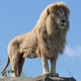 All he surveys by Sam Sampson - Animals Lions, Tigers & Big Cats ( big cat, lion, roar, mane, white )