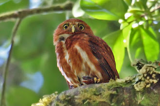 Photo: Costa Rican Pygmy-Owl