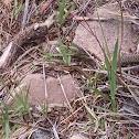 terrestrial western garter snake