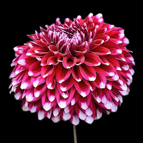 Nice Pink Dahlia flower  by Kamal Mallick - Flowers Single Flower