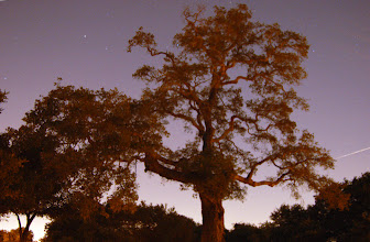 Photo: Requirement 1 (outdoor scene of nature): I took a 20-sec exposure of this tree and caught an airplane streak (to the right) as well as some stars. The odd orange glow comes from a streetlight situated quite far away (yet still affecting the scene on a dark night).   The trees are not as crisp as I'd like them to be, though not due to motion blur. Rather, I had a hard time focusing (manually or auto), so I ended up taking a number of shots while blindly adjusting the focus bit by bit. Cropped, sharpened, and barely adjusted the color balance in Photoshop.