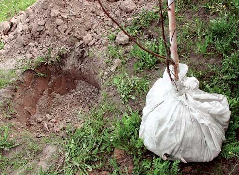 Подготовка вишни к пересадке