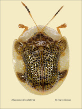 Photo: Microtenochira fraterna, 5,2mm, Costa Rica, Queseda (10°16´/-84°26´), leg. Gernot Kunz, det. Lech Borowiec