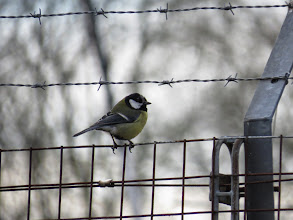 Photo: Priorslee Lake I know how he feels: this Great Tit seems to be going bald... (Ed Wilson)