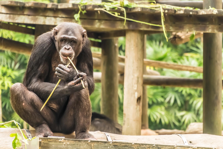 シンガポール動物園 チンパンジー1
