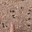 Nubian Ibex Scat