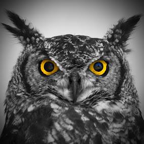 Yellow Spotting Eyes by Marco Bertamé - Digital Art Animals ( bird, bird of prey, selective color, spotting, owl, beak, ears, yellow, feathered, two eyes,  )