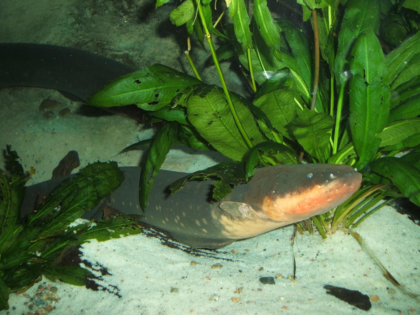 File:Electric-eel.jpg - Wikimedia Commons